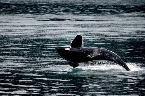 killer whale orca breaching
