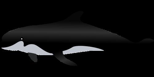 killer whale whale sea