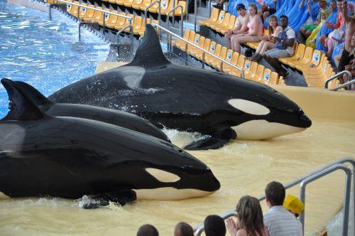 Killer Whale, Orca