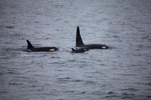 killer whales  orcas  pod