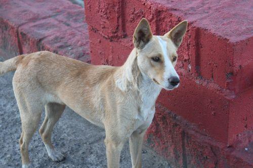 kiltro quiltro stray dog