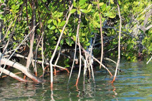 kimberley mangroves australia