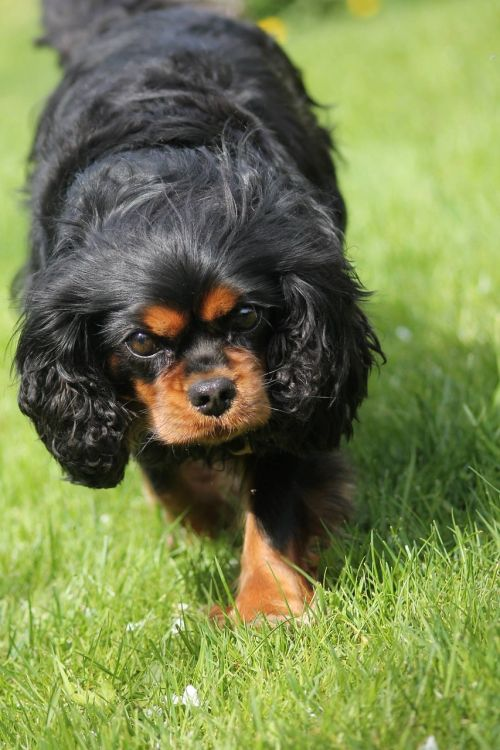 king charles cavalier spaniel cute adorable
