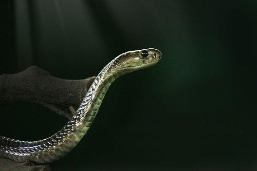 king cobra  cobra  snake