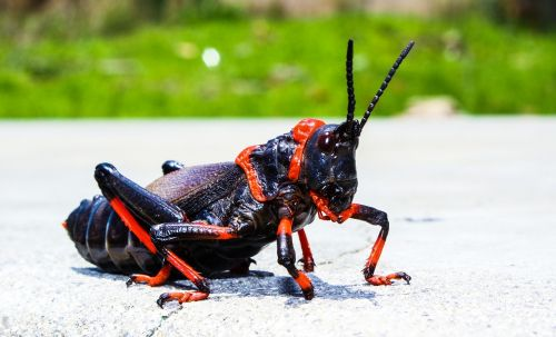 king cricket insect cricket
