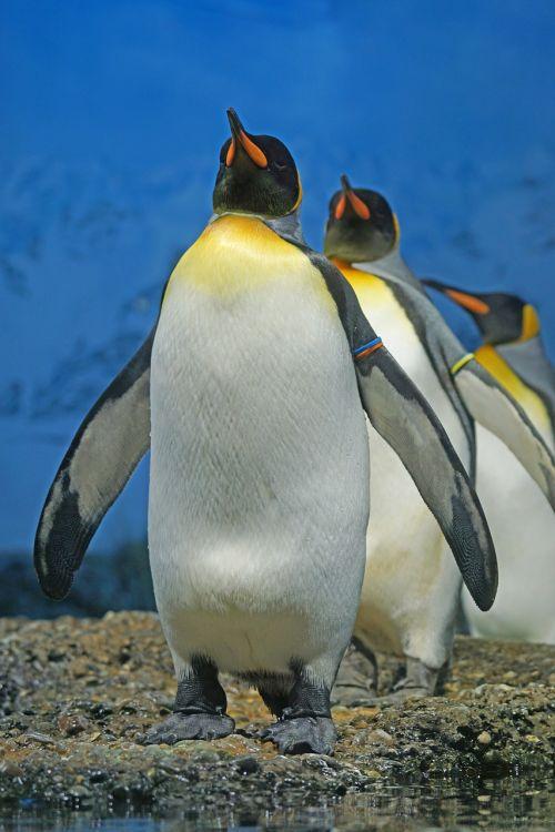 king penguin penguin beaks