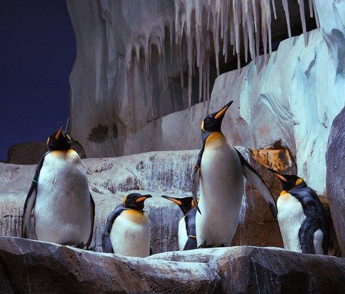 king penguin  penguin  bird