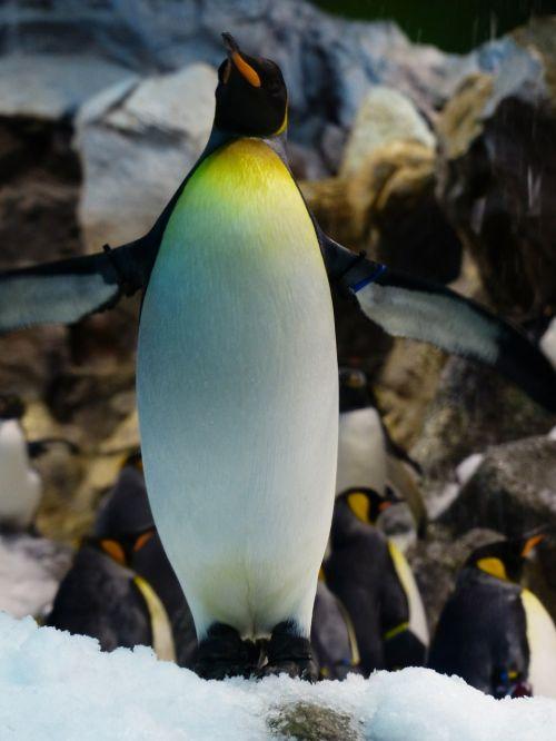 king penguin penguin breast