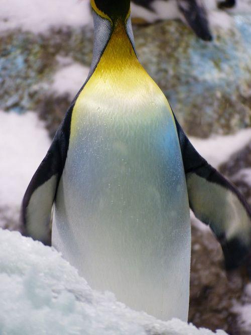 king penguin penguin aptenodytes patagonicus