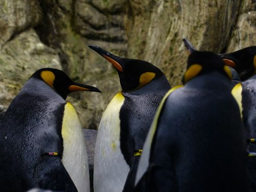 king penguins penguins beaks
