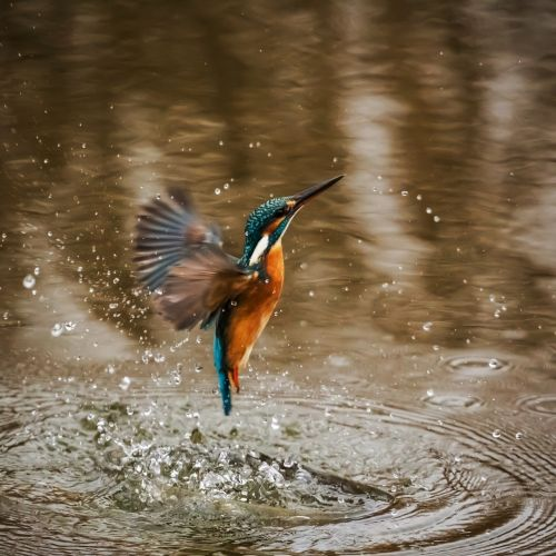 kingfisher bird alcedo atthis