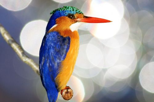 kingfisher alcedo atthis plumage