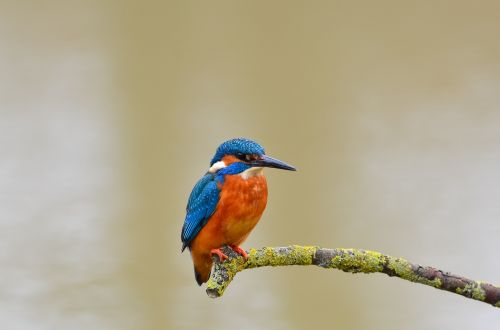 kingfisher bird wild