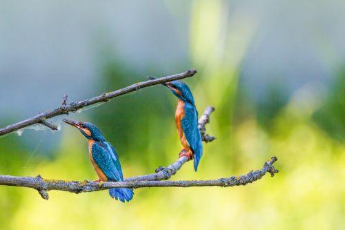 kingfisher bird colorful