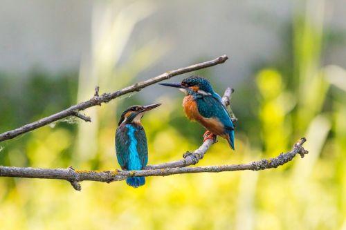 kingfisher couple pair