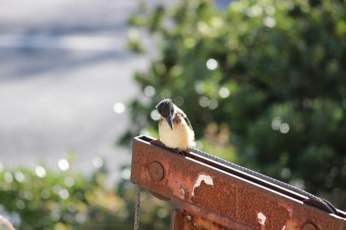 kingfisher bird kingfisher bird