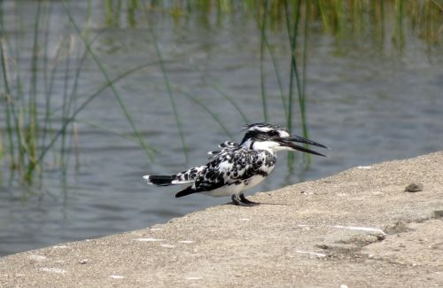 kingfisher pied kingfisher ceryle rudis