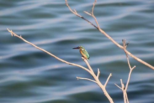 kingfisher bird nature