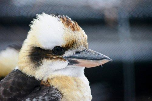 kingfisher  kookaburra  australia
