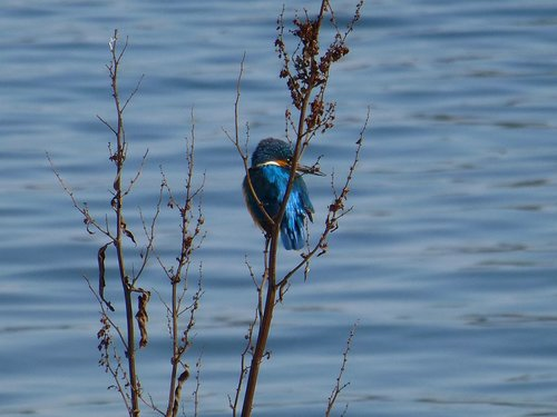 kingfisher  alcedo  king fisher