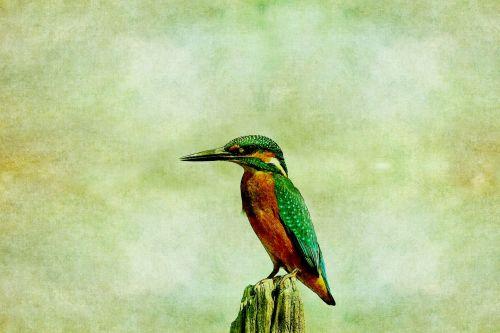 Kingfisher Bird Vintage Painting