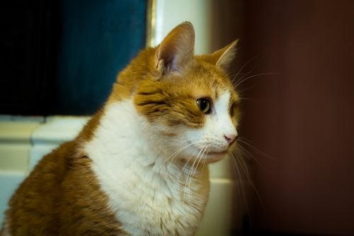 kisa cat redhead