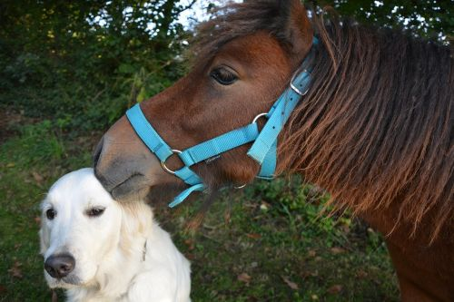 kiss shetland pony dog golden retriever