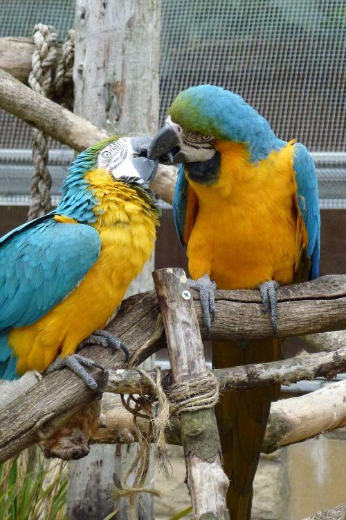 kissing birds parrots