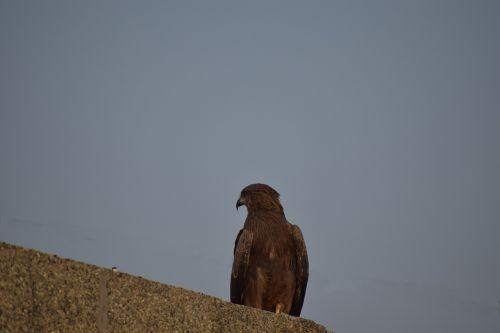 kite basking bird