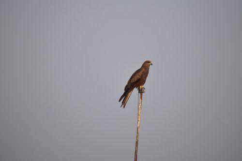 kite basking looking for prey