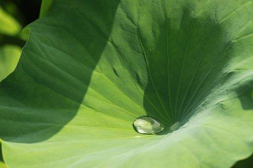 aitvaras, lotoso lapų, pobūdį, lapų, srovelė, tvenkinys augalai, Lotus, abstraktus