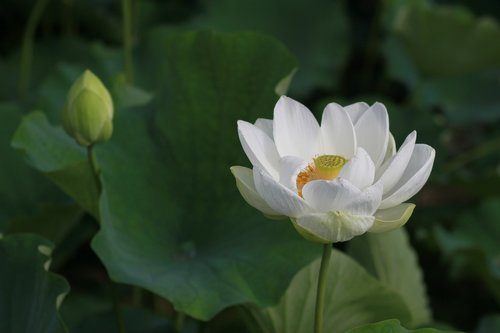 kite  lotus  nature