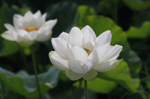 kite  lotus  nature