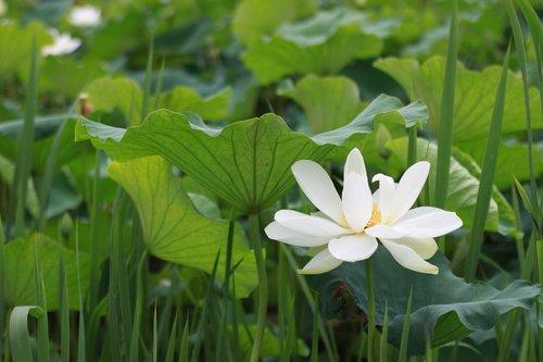 kite  lotus  water lilies