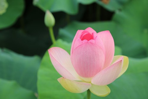kite  lotus  water lilies