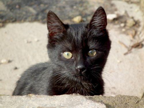 kitten cat black