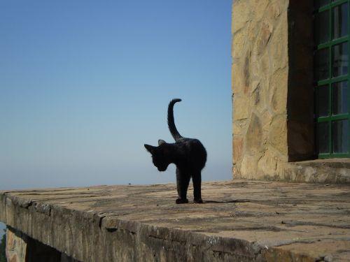 kitten black cat feline