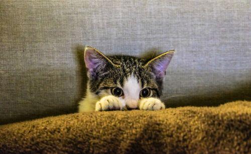 kitten animal pet