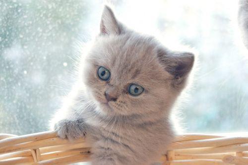 kitten british british cat