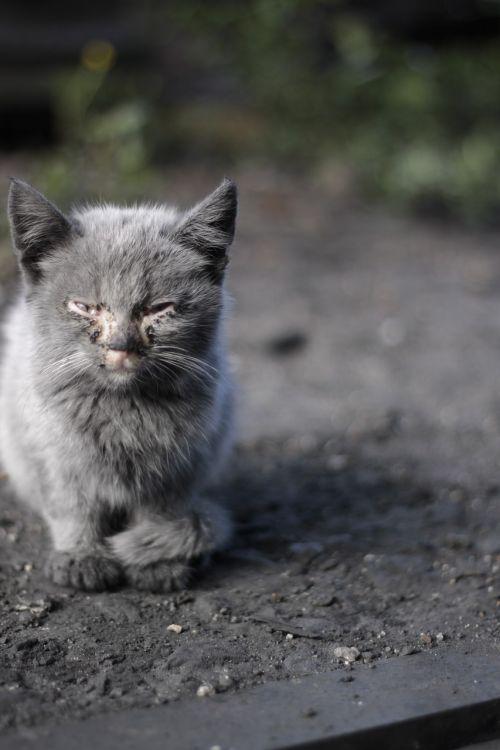 kitten disease life