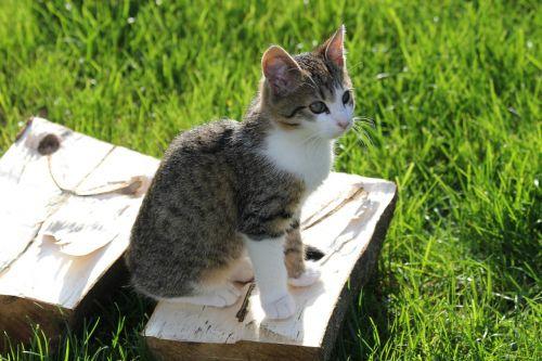 kitten crampon tomcat