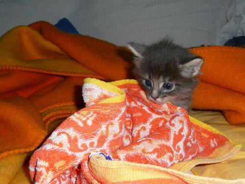 kitten mammal
