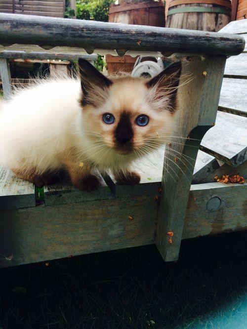 kitten rag doll cat