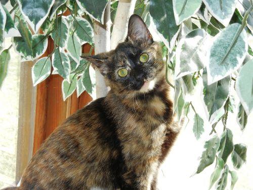 kitten calico feline