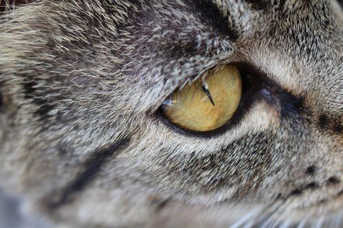 kitten eye tabby
