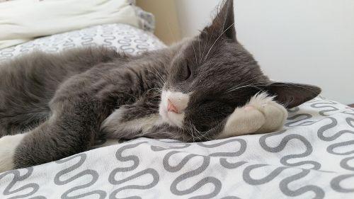 kitten sleepy cat grey cat