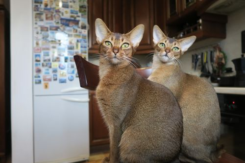 kittens abyssinian cat cats abyssinians