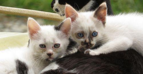kittens cats domestic
