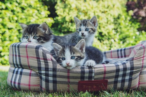 kittens  basket  domesticated