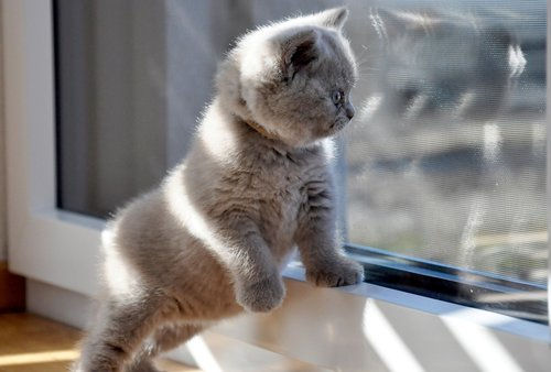 kittens  british shorthair  cat baby